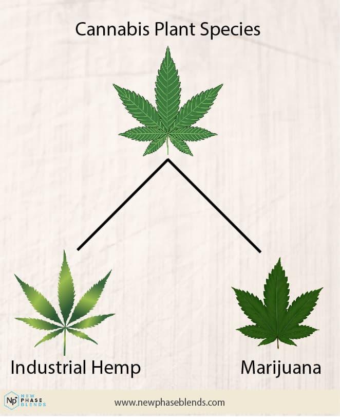 Diagram Of Hemp Leaf Vs Marijuana Leaf