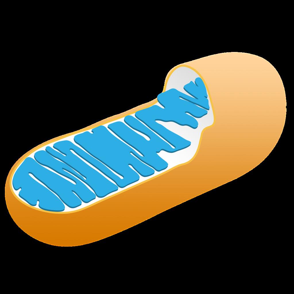 mitochondria uses cbd for energy