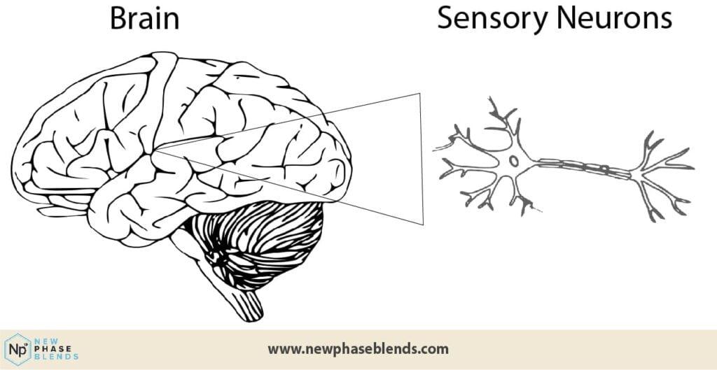 CBD and painkillers brain diagram