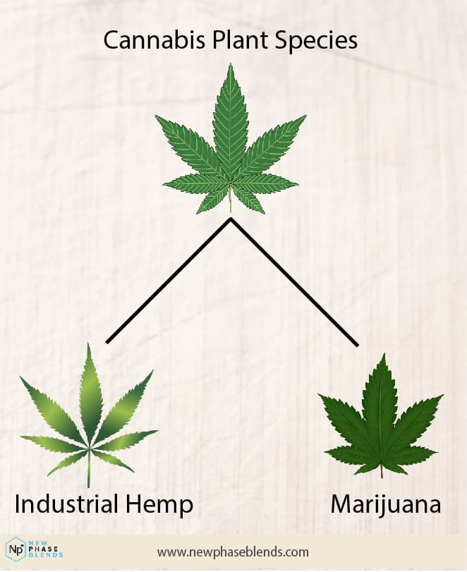 different cannabis leaves
