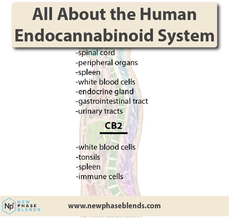Endocannabinoid System Thumbnail