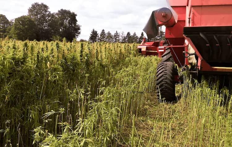 Harvesting Hemp Flower