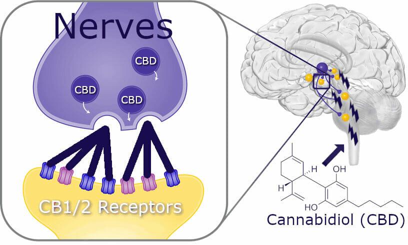 Cbd Brain Diagram